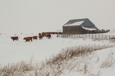 The girls moving to the calving pastures mid February.