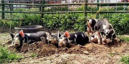 The kids' pigs
